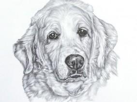 Golden Retriever pencil drawing