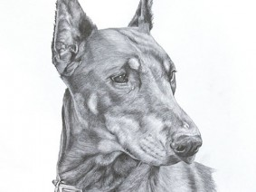 Doberman Pinscher pencil drawing