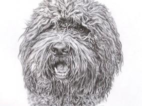 Barbet pencil drawing