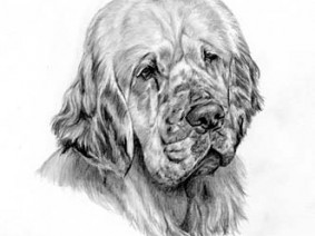 Clumber Spaniel pencil drawing