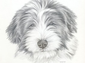 Bearded Collie (Beardie) puppy silverpoint drawing