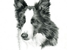 Border Collie pencil drawing