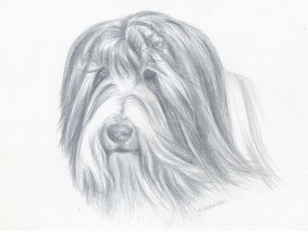 Bearded Collie (Beardie) silverpoint drawing