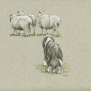 17. Beardie Herding Sheep