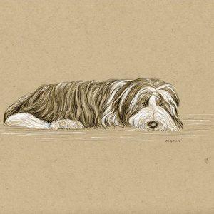 20. Resting Brown Beardie