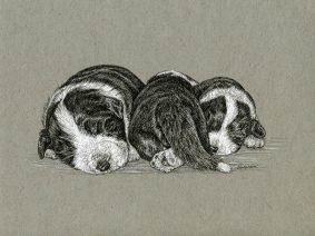 Bearded Collie (Beardie) puppies pen/ink drawing
