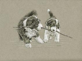 Bearded Collie (Beardie) pups pen/ink drawing