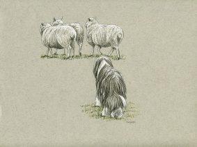 Bearded Collie (Beardie) herding sheep pen/ink drawing