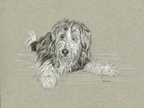 Bearded Collie (Beardie) pen/ink draiwng