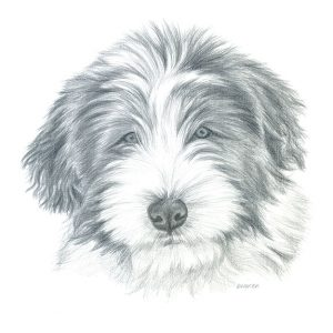 Silverpoint drawing of a Bearded Collie (Beardie) puppy