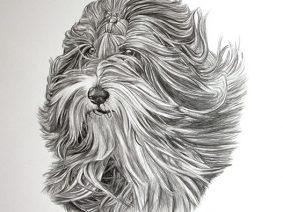 Bearded Collie (Beardie) Pencil Drawing