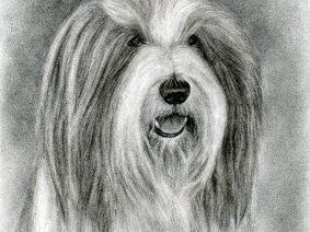Bearded Collie (Beardie) charcoal drawing