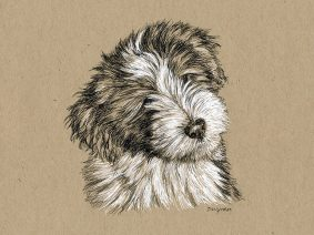 Bearded Collie (Beardie) Pup Drawing