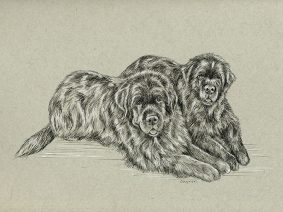 Newfoundland Dogs (Newfie) Ink Drawing