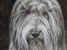 Bearded Collie (Beardie) drawing