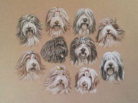9 Bearded Collies and 1 Puli Drawing