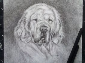 Clumber Spaniel Drawing