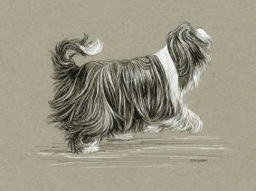 Bearded Collie drawing